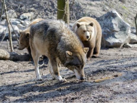 eleveurs-:-comment-se-proteger-de-l'ours-et-du-loup-?